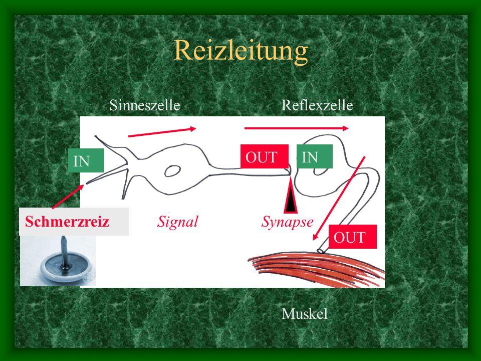 Reizleitung Schmerzreiz Signal SinneszelleReflexzelle Muskel Synapse IN OUTIN OUT