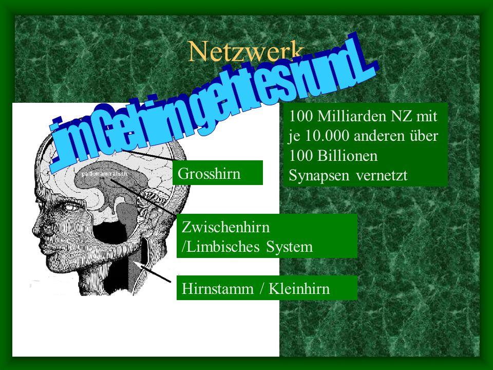 Netzwerk 100 Milliarden NZ mit je 10.000 anderen über 100 Billionen Synapsen vernetzt Grosshirn Zwischenhirn /Limbisches System Hirnstamm / Kleinhirn