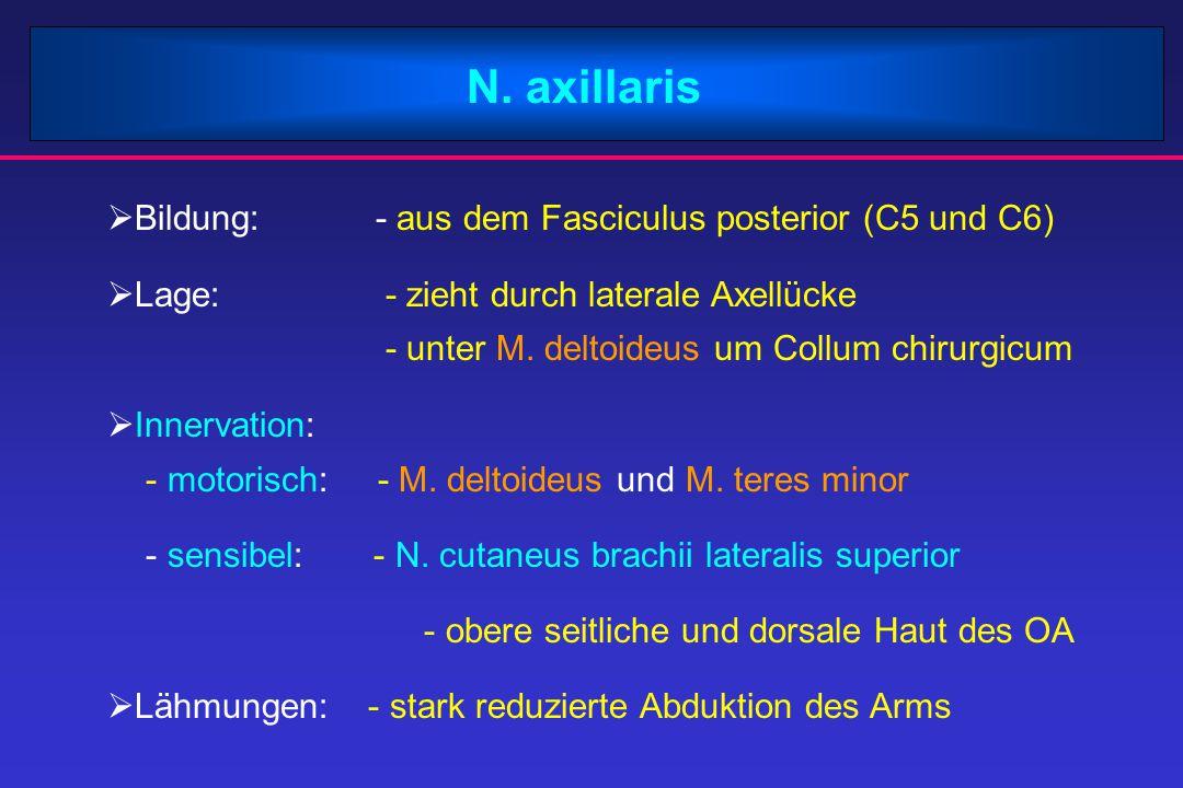 N. axillaris  Bildung: - aus dem Fasciculus posterior (C5 und C6)  Lage: - zieht durch laterale Axellücke - unter M. deltoideus um Collum chirurgicu