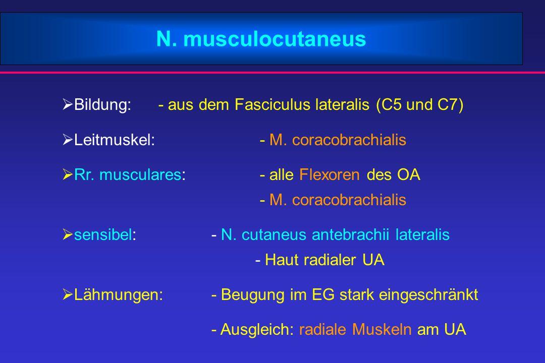 N. musculocutaneus  Bildung:- aus dem Fasciculus lateralis (C5 und C7)  Leitmuskel: - M. coracobrachialis  Rr. musculares: - alle Flexoren des OA -