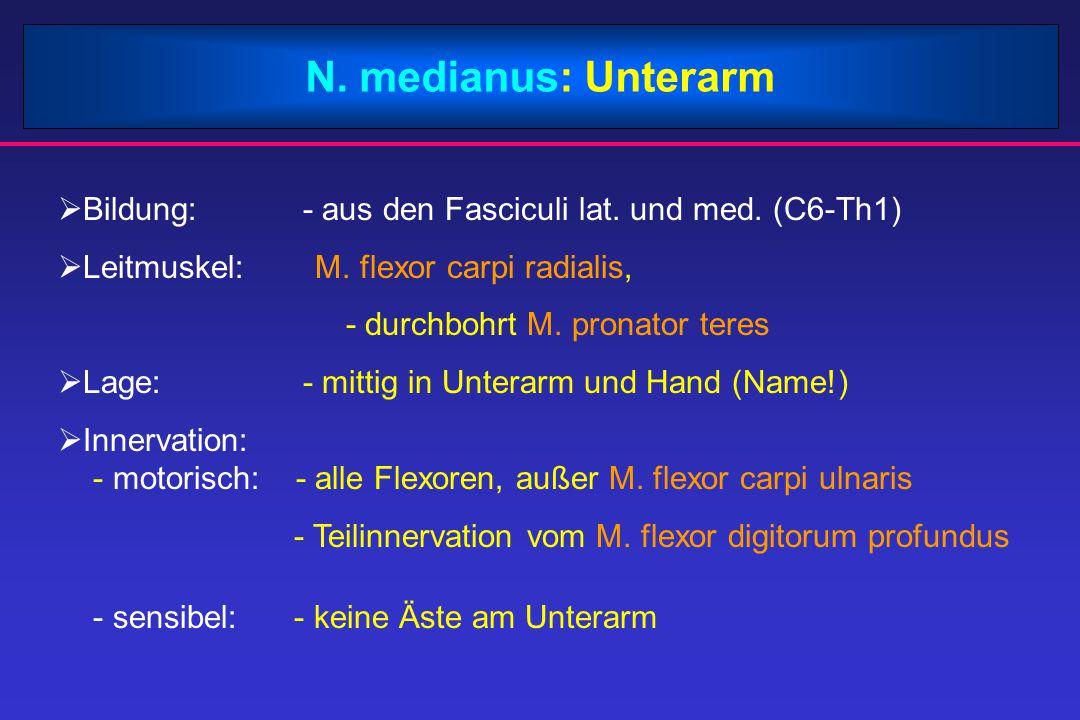 N.musculocutaneus  Bildung:- aus dem Fasciculus lateralis (C5 und C7)  Leitmuskel: - M.