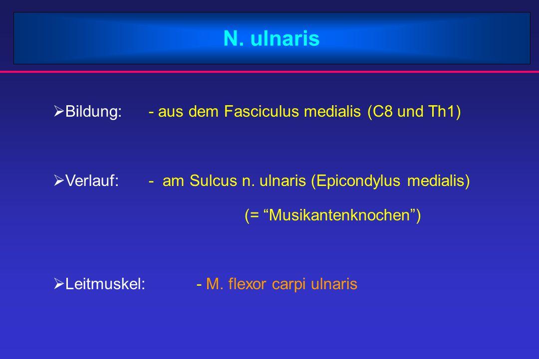 """N. ulnaris  Bildung:- aus dem Fasciculus medialis (C8 und Th1)  Verlauf:- am Sulcus n. ulnaris (Epicondylus medialis) (= """"Musikantenknochen"""")  Leit"""