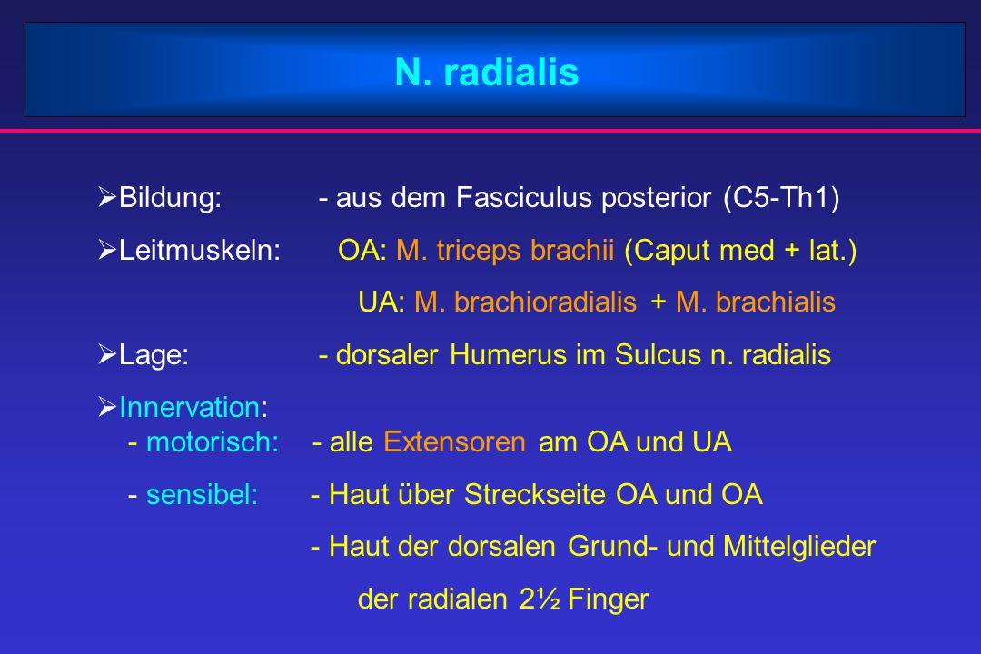 N. radialis  Bildung: - aus dem Fasciculus posterior (C5-Th1)  Leitmuskeln: OA: M. triceps brachii (Caput med + lat.) UA: M. brachioradialis + M. br
