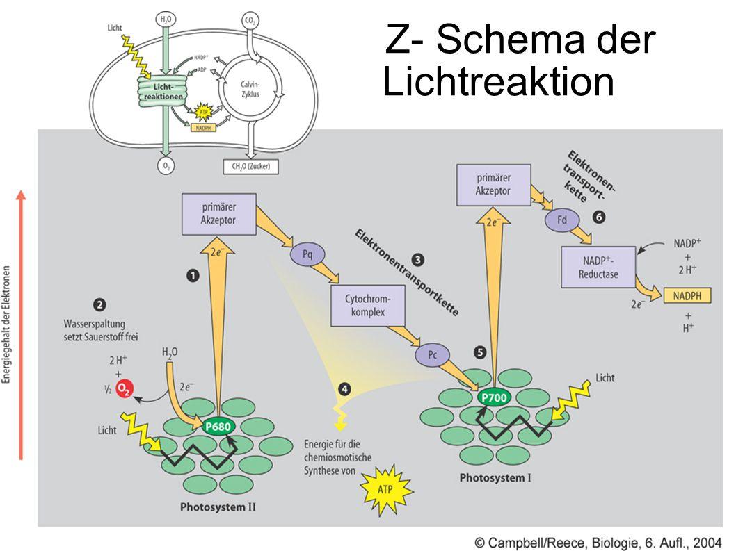 Z- Schema der Lichtreaktion