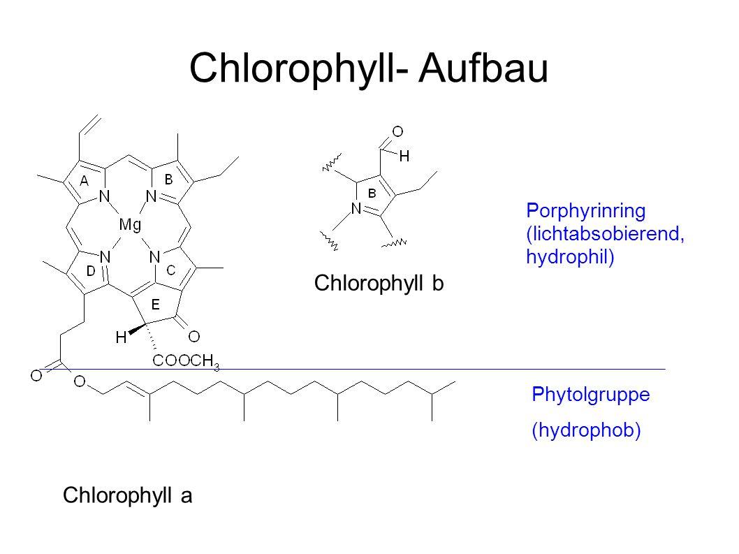 Porphyrinring (lichtabsobierend, hydrophil) Phytolgruppe (hydrophob) Chlorophyll- Aufbau Chlorophyll a Chlorophyll b