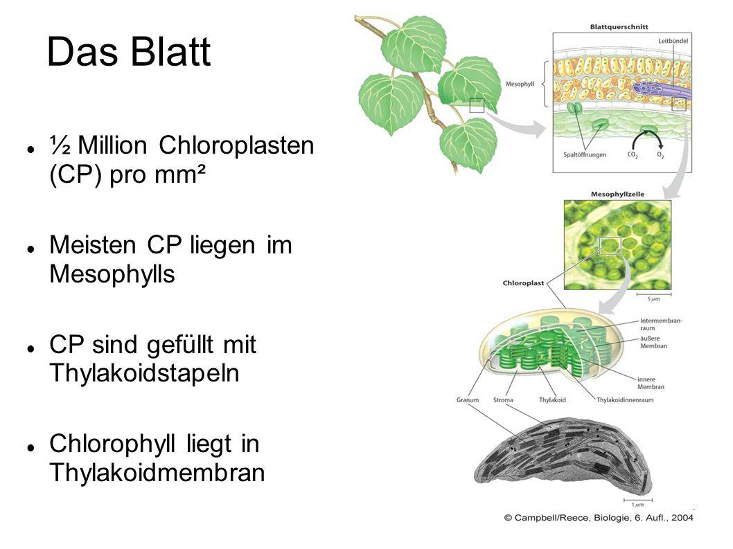 4 ½ Million Chloroplasten (CP) pro mm² Meisten CP liegen im Mesophylls CP sind gefüllt mit Thylakoidstapeln Chlorophyll liegt in Thylakoidmembran Das