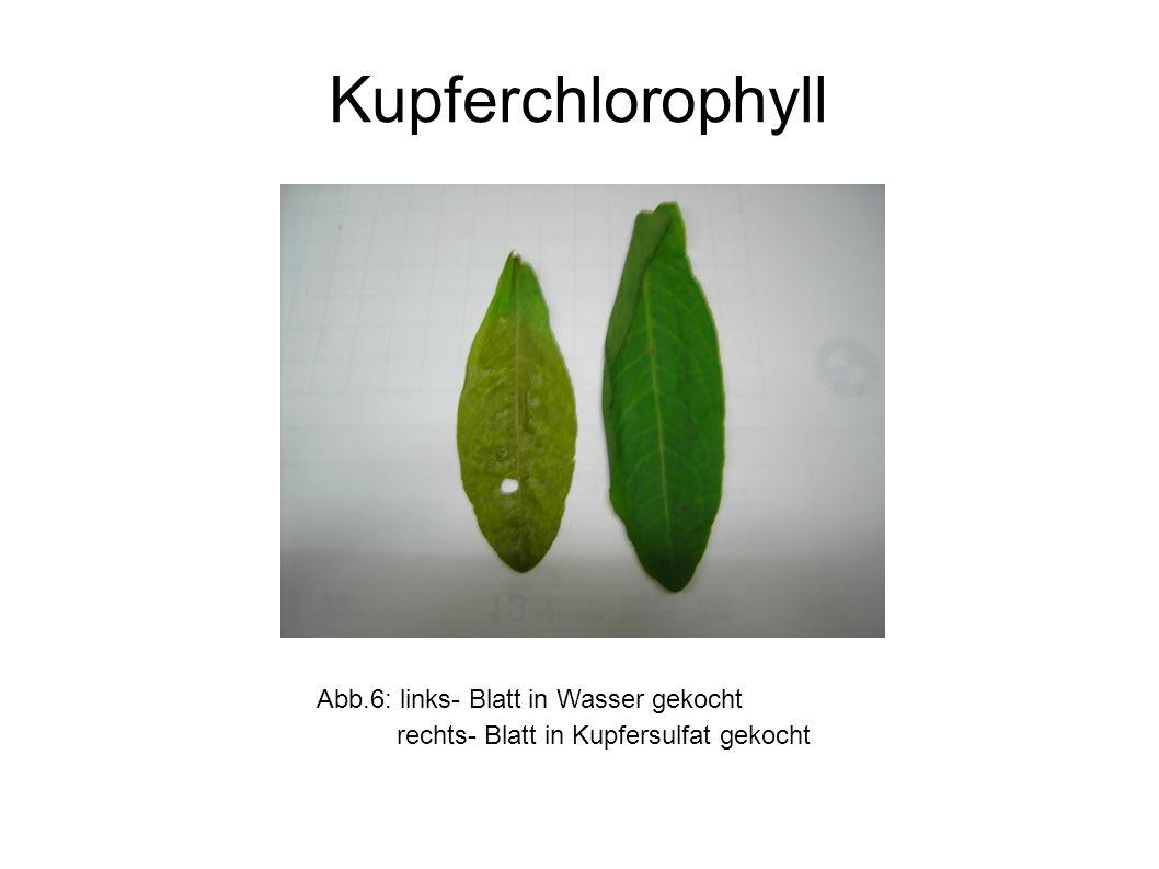 Abb.6: links- Blatt in Wasser gekocht rechts- Blatt in Kupfersulfat gekocht