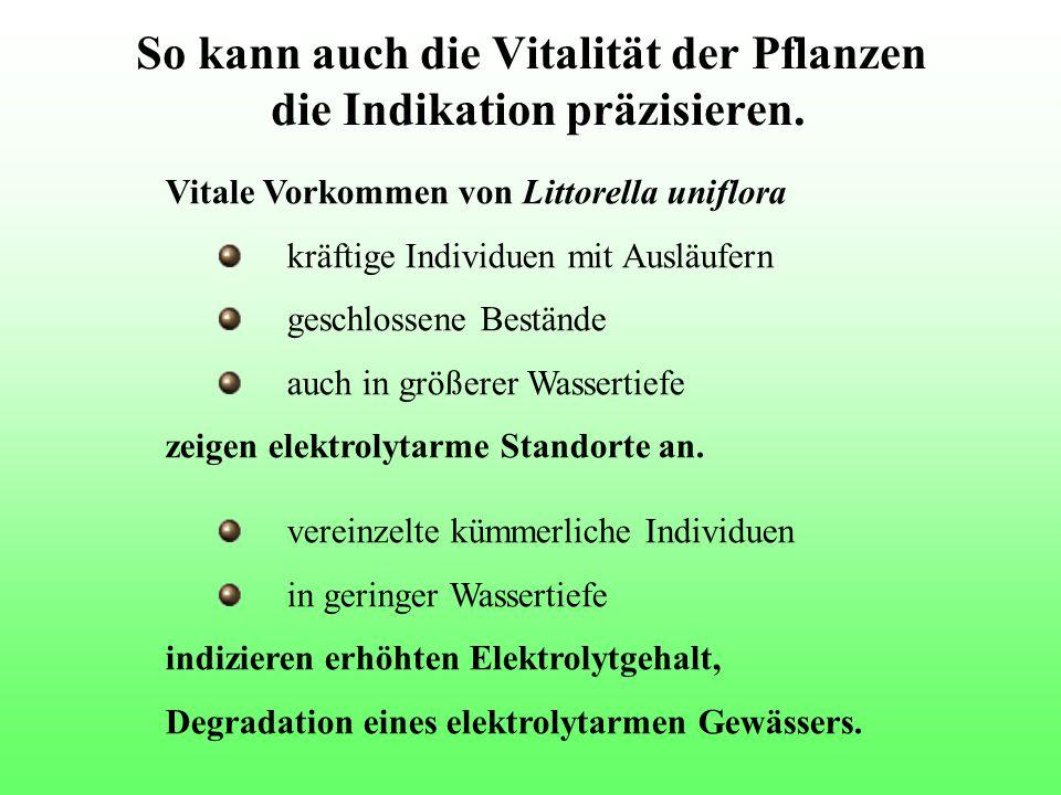 So kann auch die Vitalität der Pflanzen die Indikation präzisieren. Vitale Vorkommen von Littorella uniflora kräftige Individuen mit Ausläufern geschl