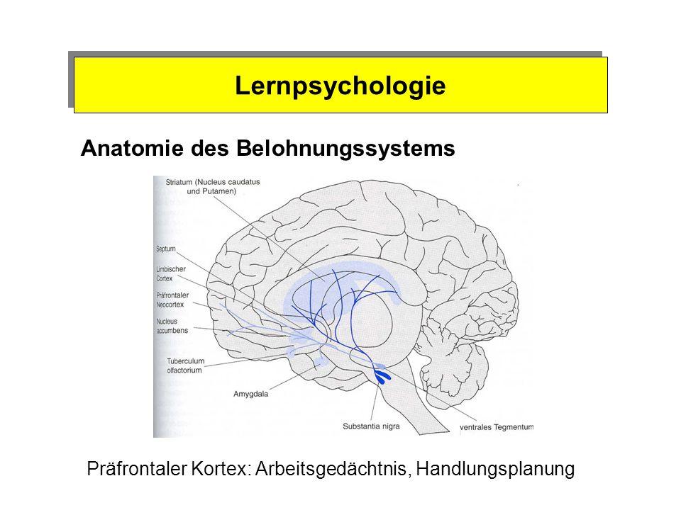 Lernpsychologie Belohnungssystem und Sucht Vorteile des Belohnungssystems: Effizienz der Triebbefriedigung Steuert die Triebbefriedigung durch Erwartu