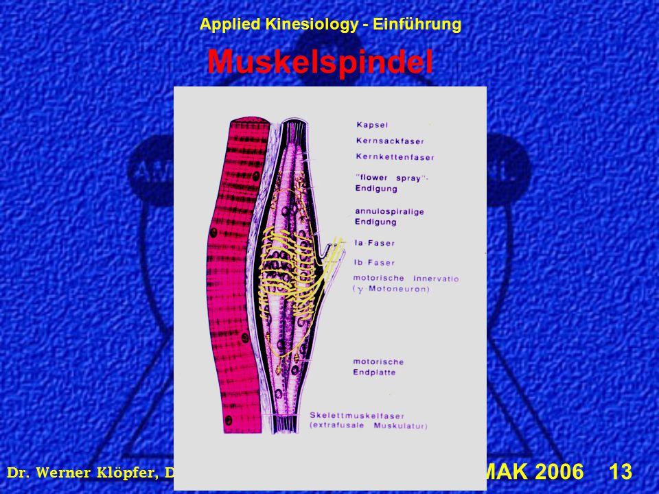 Applied Kinesiology - Einführung © IMAK 2006 13 Dr. Werner Klöpfer, DIBAK, Alserstraße 43, 1080 Wien Muskelspindel