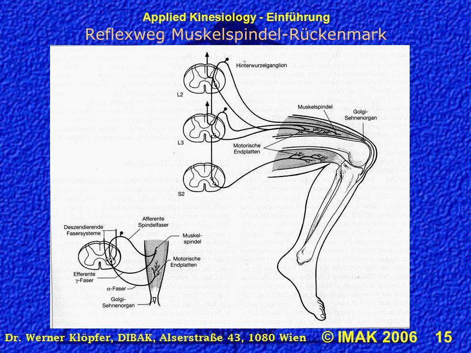 Applied Kinesiology - Einführung © IMAK 2006 15 Dr. Werner Klöpfer, DIBAK, Alserstraße 43, 1080 Wien Reflexweg Muskelspindel-Rückenmark