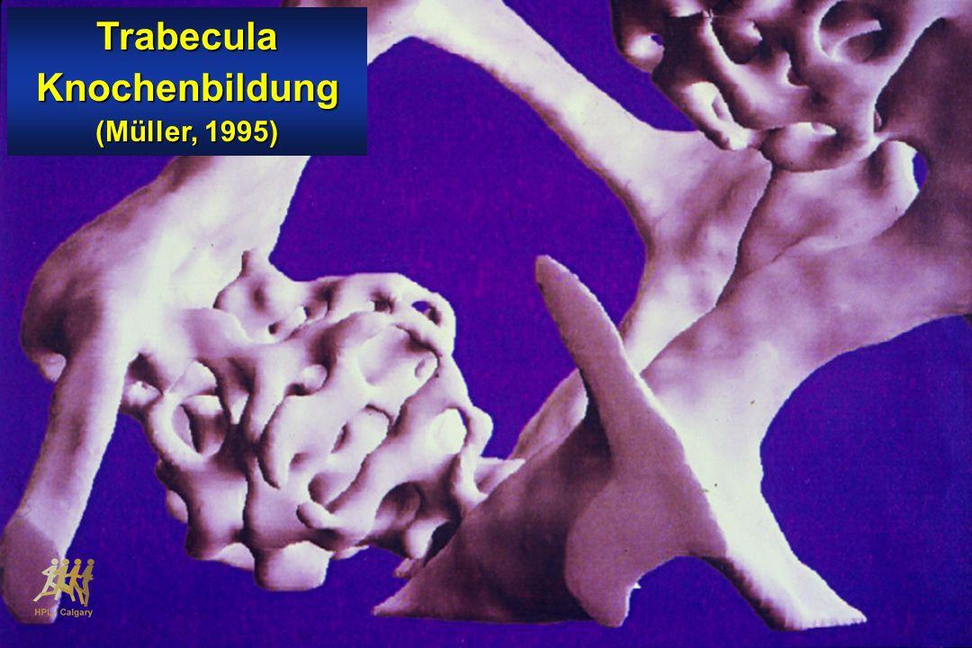TrabeculaKnochenbildung (Müller, 1995)