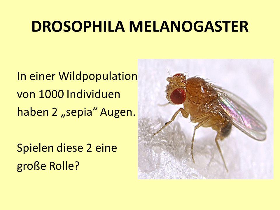 """DROSOPHILA MELANOGASTER In einer Wildpopulation von 1000 Individuen haben 2 """"sepia"""" Augen. Spielen diese 2 eine große Rolle?"""