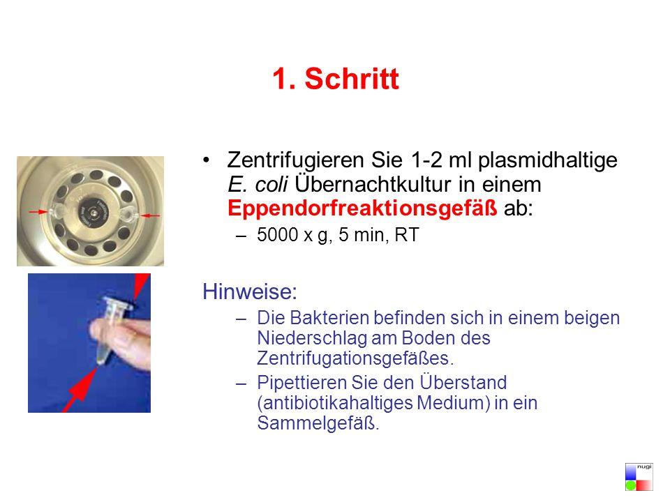 12.Schritt Stecken Sie das Säulchen in ein frisches, steriles 1ml Eppendorfreaktionsgefäß.