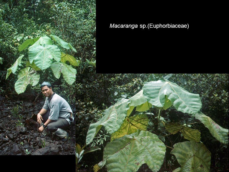 Macaranga sp.(Euphorbiaceae)
