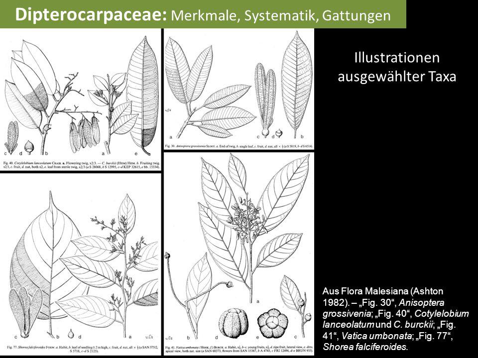 "Illustrationen ausgewählter Taxa Aus Flora Malesiana (Ashton 1982). – ""Fig. 30"", Anisoptera grossivenia; ""Fig. 40"", Cotylelobium lanceolatum und C. bu"