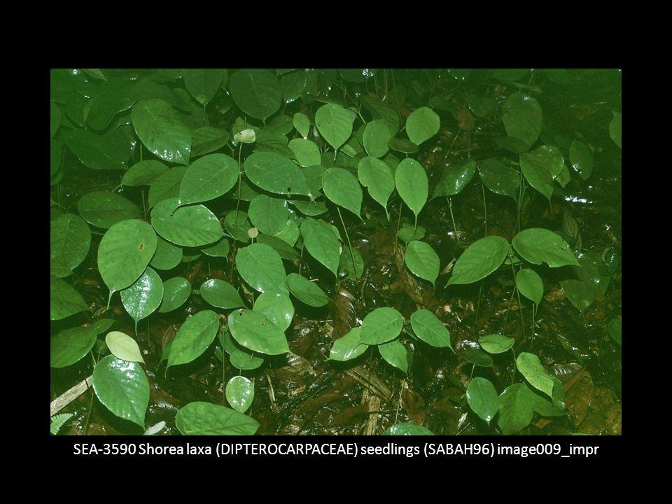 """Anmerkung: In der nichtsaisonalen humiden Zone (also im Zonobiom I) kommen Dipterocarpaceae nicht nur in MDF, sondern auch in anderen Waldtypen vor wie zum Beispiel in """"Kerangas (trop."""