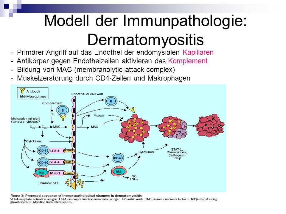 Modell der Immunpathologie: Dermatomyositis - Primärer Angriff auf das Endothel der endomysialen Kapillaren - Antikörper gegen Endothelzellen aktivieren das Komplement - Bildung von MAC (membranolytic attack complex) - Muskelzerstörung durch CD4-Zellen und Makrophagen