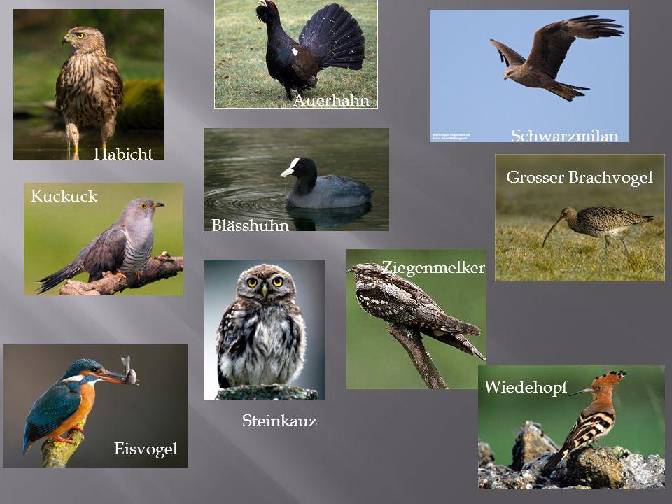 Quiz 1: HörbeispielName des Vogels 1 2 3 4 5 6 7 8 9 10 Bereiten Sie das Blatt so vor: