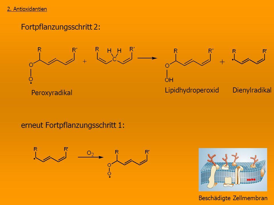 Fortpflanzungsschritt 2: Peroxyradikal erneut Fortpflanzungsschritt 1: Beschädigte Zellmembran 2. Antioxidantien Lipidhydroperoxid Dienylradikal +
