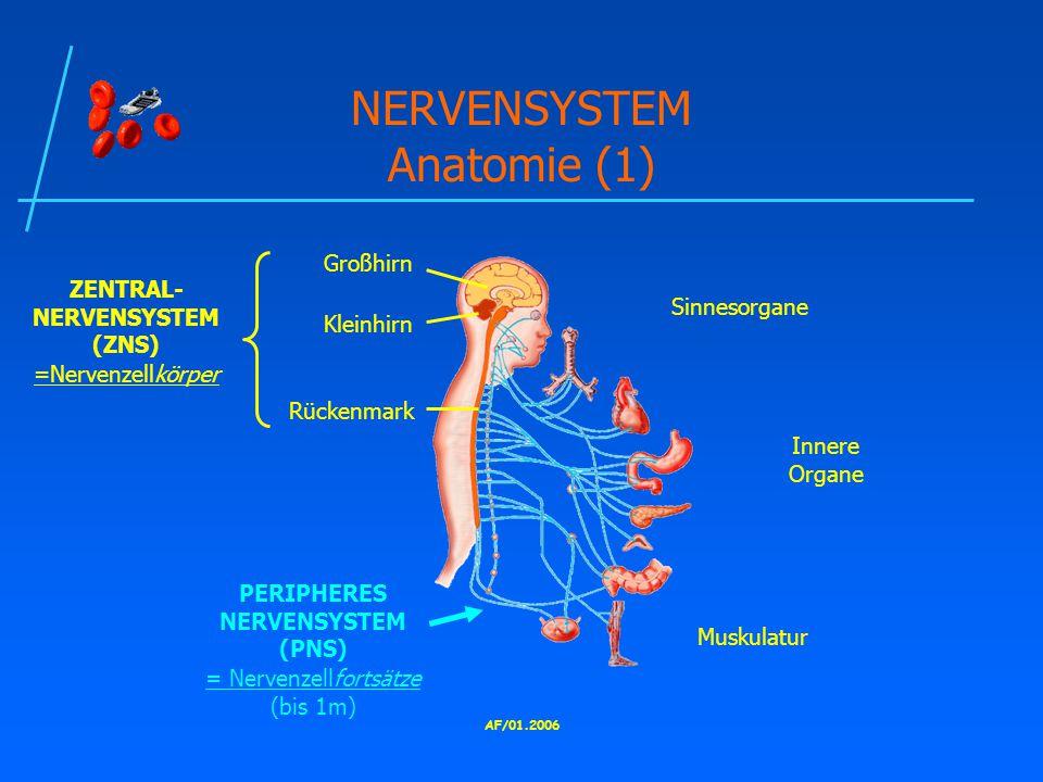 AF/01.2006 NERVENSYSTEM Anatomie (1) Großhirn Kleinhirn Rückenmark ZENTRAL- NERVENSYSTEM (ZNS) =Nervenzellkörper Innere Organe Muskulatur Sinnesorgane PERIPHERES NERVENSYSTEM (PNS) = Nervenzellfortsätze (bis 1m)