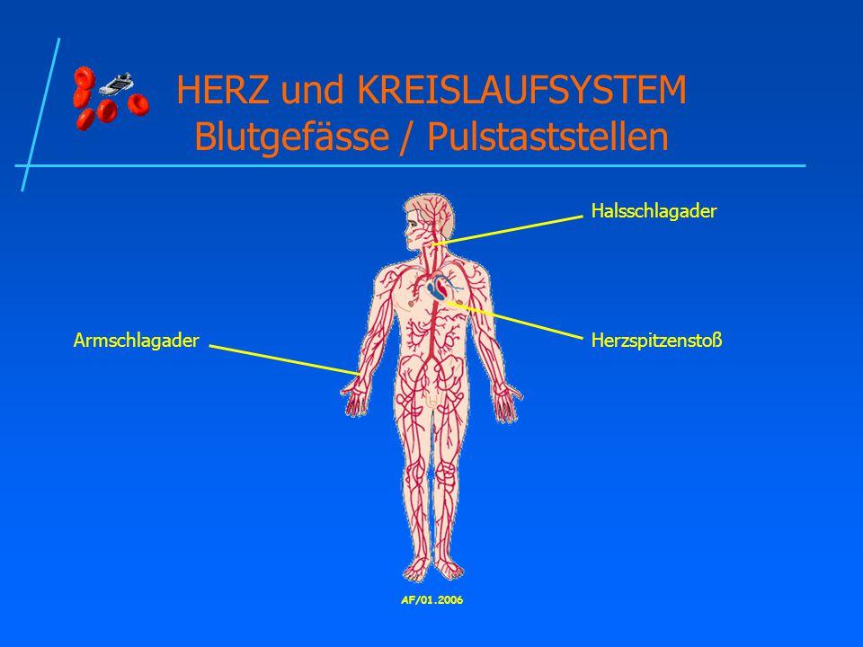 AF/01.2006 HERZ und KREISLAUFSYSTEM Blutgefässe / Pulstaststellen Halsschlagader HerzspitzenstoßArmschlagader