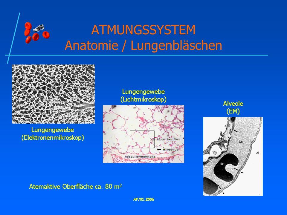 AF/01.2006 ATMUNGSSYSTEM Anatomie / Lungenbläschen Lungengewebe (Elektronenmikroskop) Lungengewebe (Lichtmikroskop) Alveole (EM) Atemaktive Oberfläche ca.
