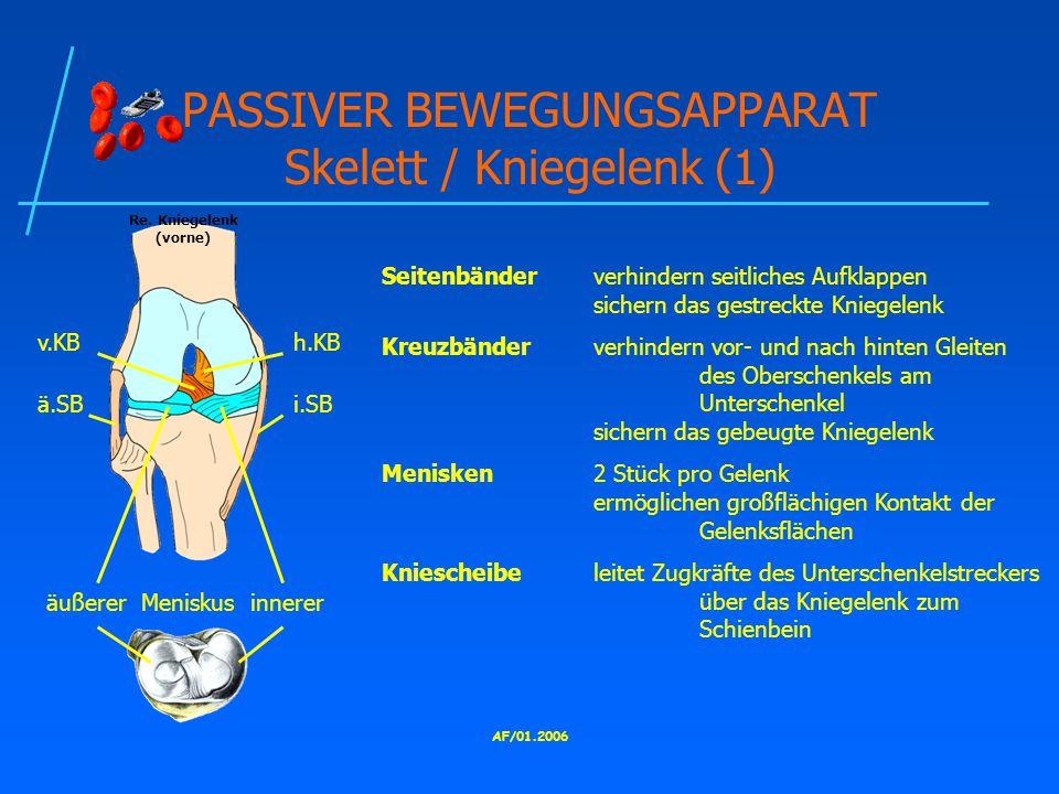AF/01.2006 PASSIVER BEWEGUNGSAPPARAT Skelett / Kniegelenk (1) Seitenbänderverhindern seitliches Aufklappen sichern das gestreckte Kniegelenk Kreuzbänderverhindern vor- und nach hinten Gleiten des Oberschenkels am Unterschenkel sichern das gebeugte Kniegelenk Menisken2 Stück pro Gelenk ermöglichen großflächigen Kontakt der Gelenksflächen Kniescheibeleitet Zugkräfte des Unterschenkelstreckers über das Kniegelenk zum Schienbein v.KBh.KB ä.SBi.SB äußerer Meniskus innerer Re.