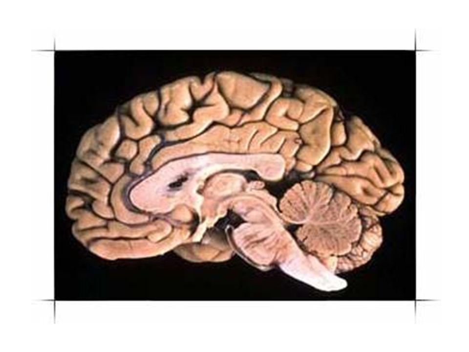 結構:腦幹、小腦、大腦 腦幹:腦最早、最原始的部分,約五億 年前演化成,掌管維生系統 ( 不需 經過思考而做的動作,如心跳、 呼吸、消化、血液循環等 ) 、早期 感覺系統、行動、情緒、體溫、 血壓、飢、渴、性、內分泌、身 體生長速率、記憶處理等。 小腦:掌管肌肉協調性。