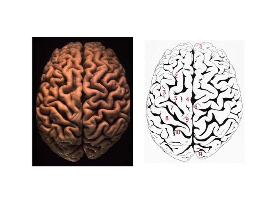 大腦分為左、右兩半,分別稱為左腦和 右腦,以神經叢連接。左腦較右腦擅長 解析,而右腦較左腦擅長想像。對多數 人左腦主管語言、線性和次序性 ( 一次一 步 ) 思考、文學思考、邏輯思考、數學思 考 ( 數和它們間之關係 ) 、推理和解析。右 腦主管同步處理 ( 同時處理不同信息,得 到全盤圖像 ) 、想像、顏色、音樂、韻律、 情緒、形態之關係、空間感、直覺和隱 喻。