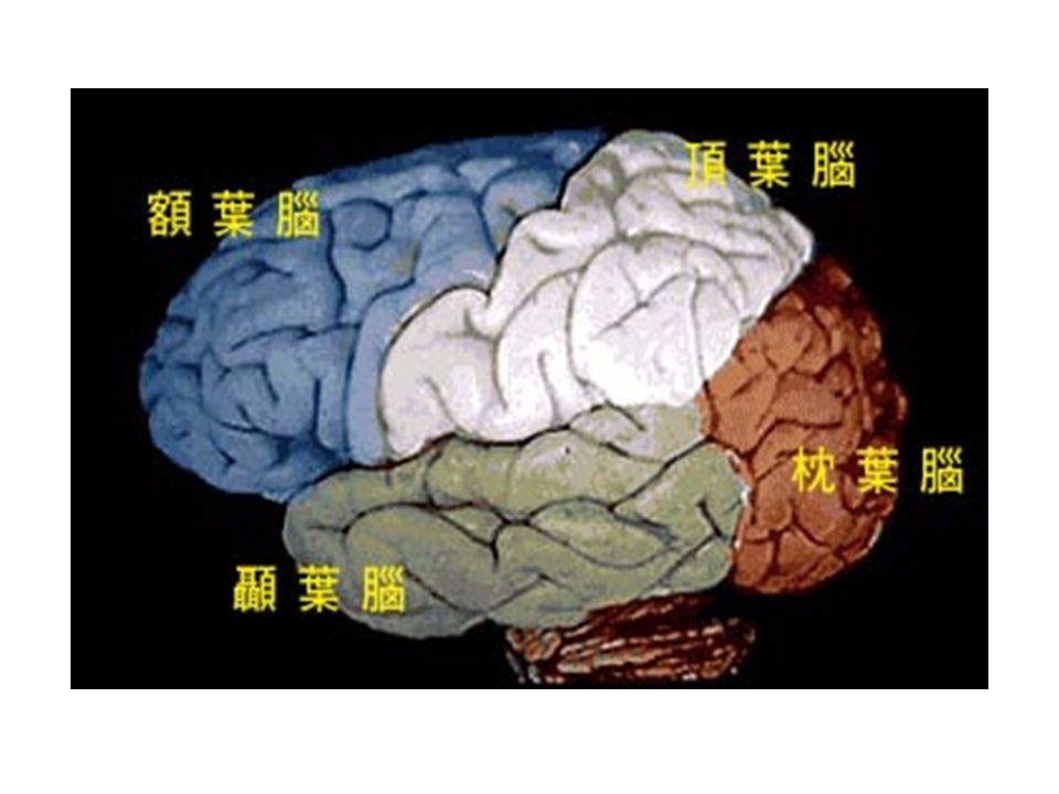 額葉腦:負責運動技巧 ( 包括說話 ) 和認知功能。 (1) 腦的運動中心座落在額葉腦的後端,它接 收來自頂葉腦的運動感應,以及發出運動命令。 (2) 左額葉腦有個區塊叫 帕卡區 (Broca ' s Area) , 能控制肌肉來處理說話上的發聲功能 ( 嘴巴, 嘴 唇和喉頭 ) ,所以此區塊受傷的人,會有所謂的 失語症現象,他能了解別人對他所說的,但他 卻無法講出有意義的話或是發出合適的聲音。 (3) 其餘部份主要在處理如思考、記憶和學習 的功能。