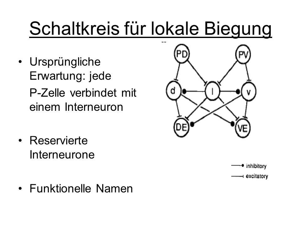 Schaltkreis für lokale Biegung Ursprüngliche Erwartung: jede P-Zelle verbindet mit einem Interneuron Reservierte Interneurone Funktionelle Namen