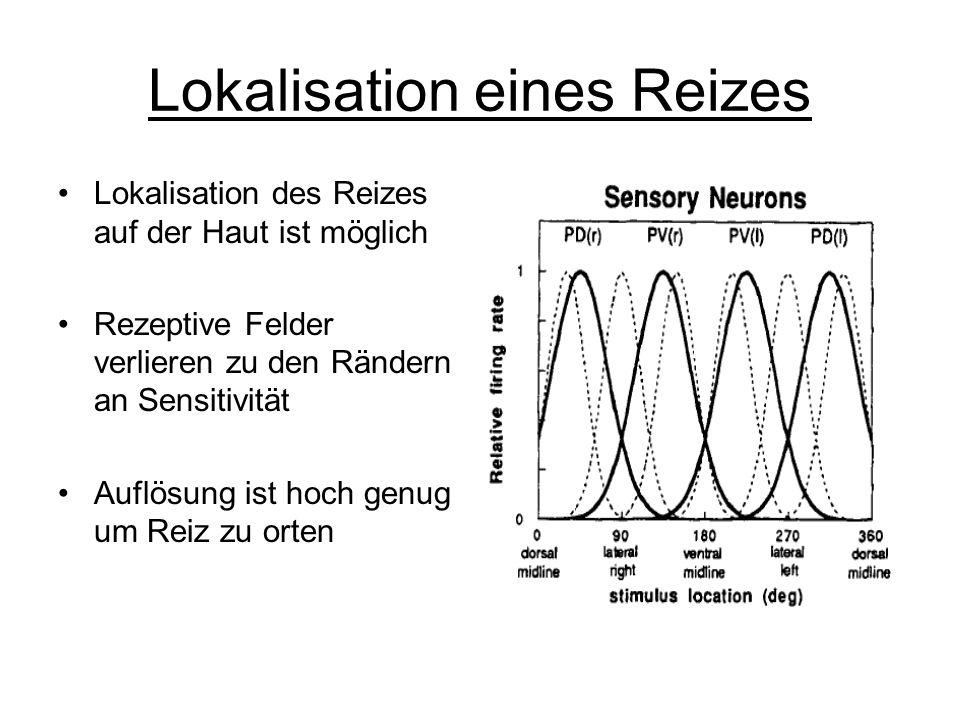 Lokalisation eines Reizes Lokalisation des Reizes auf der Haut ist möglich Rezeptive Felder verlieren zu den Rändern an Sensitivität Auflösung ist hoch genug um Reiz zu orten