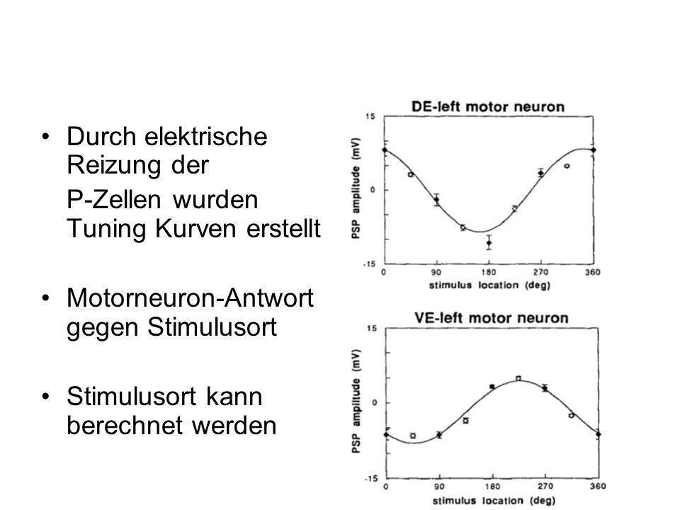 Durch elektrische Reizung der P-Zellen wurden Tuning Kurven erstellt Motorneuron-Antwort gegen Stimulusort Stimulusort kann berechnet werden