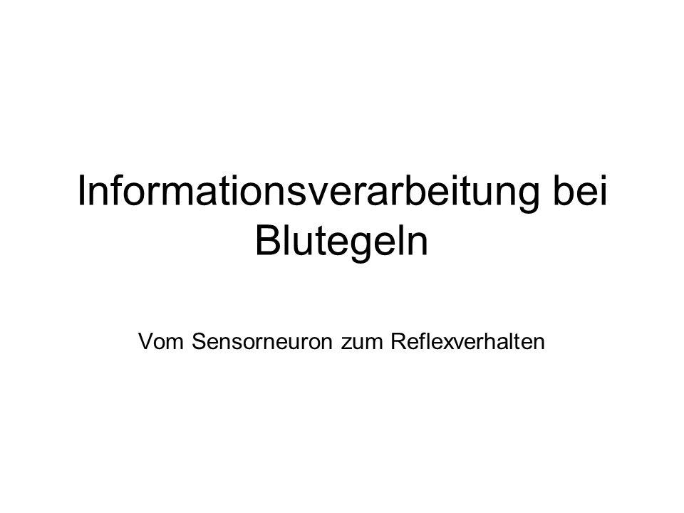 Informationsverarbeitung bei Blutegeln Vom Sensorneuron zum Reflexverhalten