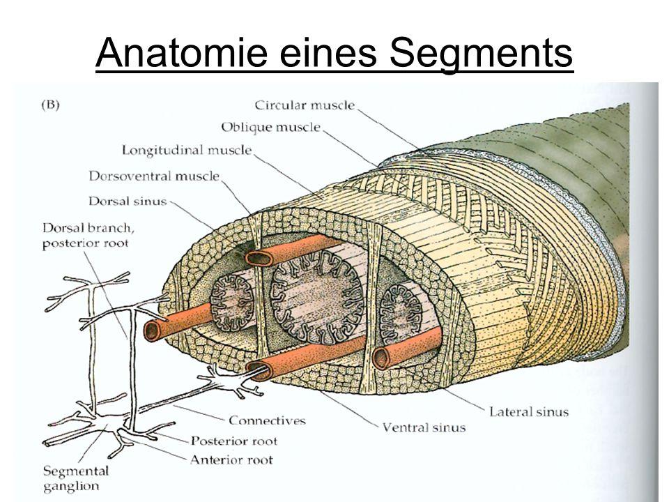 Anatomie eines Segments