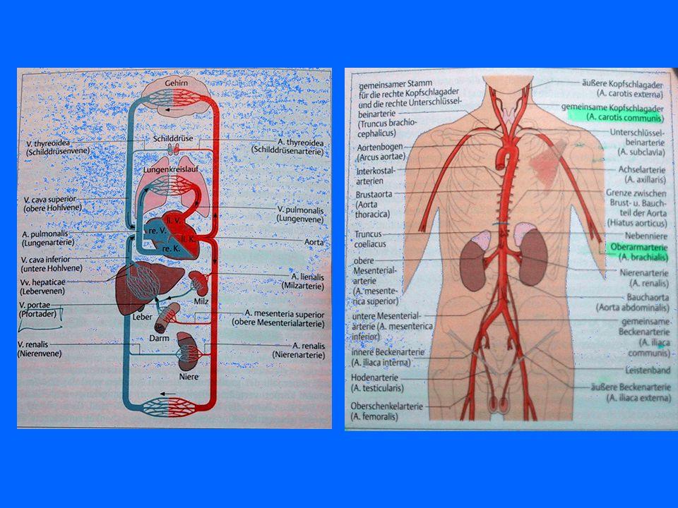 Anatomie der Blutgefäße Körperkreislauf –Versorgung –linke Kammer –Aorta (Hauptschlagader) –Hals-,Arm-,Becken-, und Beinschlagadern –Arterien –Kapilla