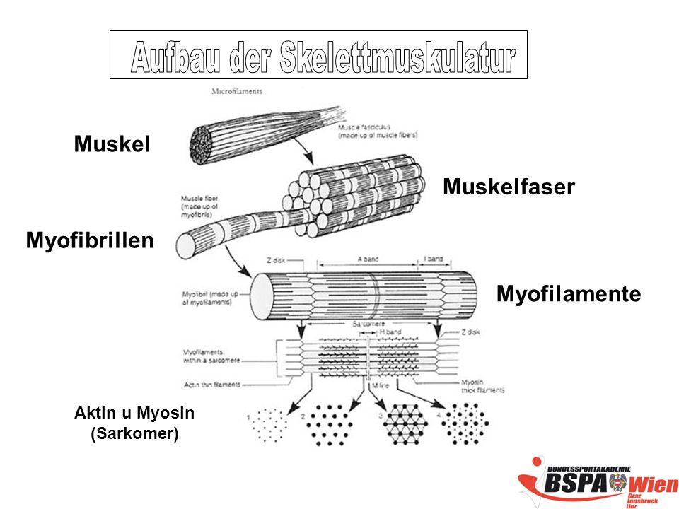 Muskel Muskelfaser Myofibrillen Myofilamente Aktin u Myosin (Sarkomer)