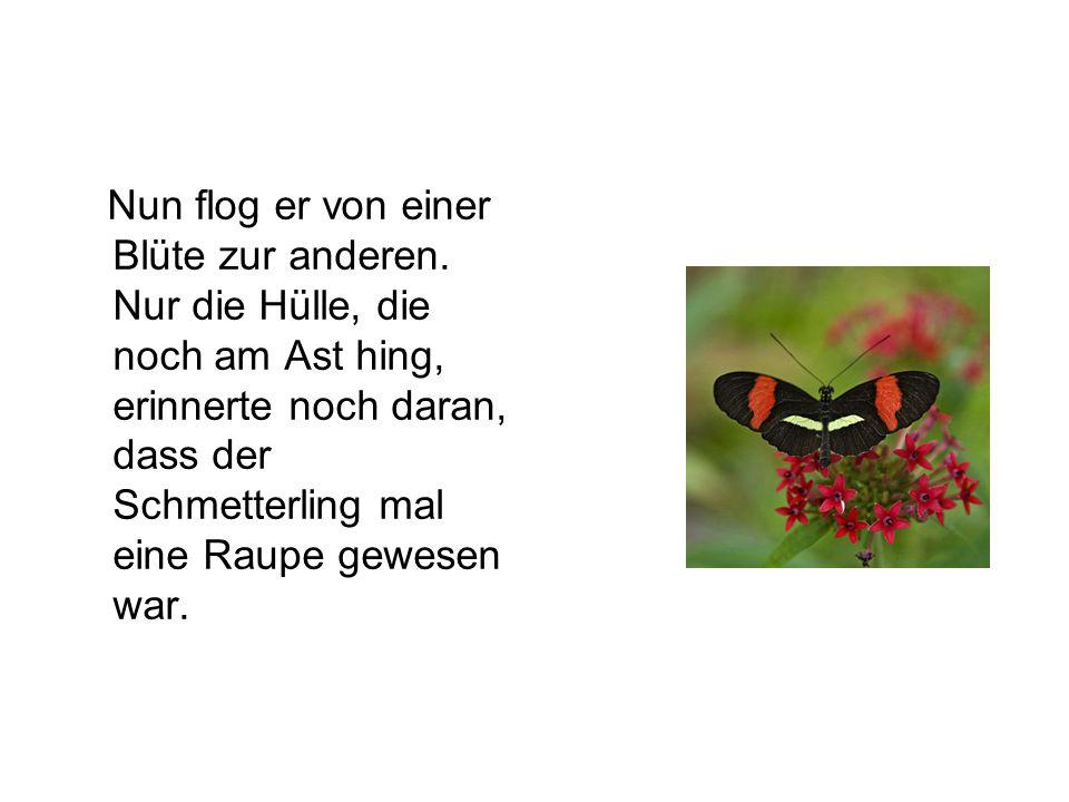 Nun flog er von einer Blüte zur anderen. Nur die Hülle, die noch am Ast hing, erinnerte noch daran, dass der Schmetterling mal eine Raupe gewesen war.