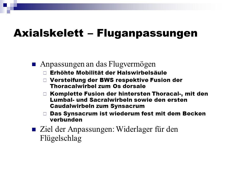 Axialskelett – Fluganpassungen Anpassungen an das Flugvermögen  Erhöhte Mobilität der Halswirbelsäule  Versteifung der BWS respektive Fusion der Tho