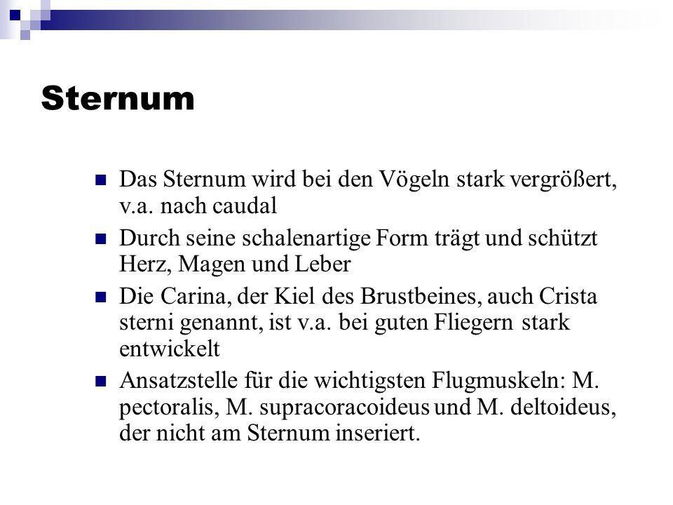 Sternum Das Sternum wird bei den Vögeln stark vergrößert, v.a.