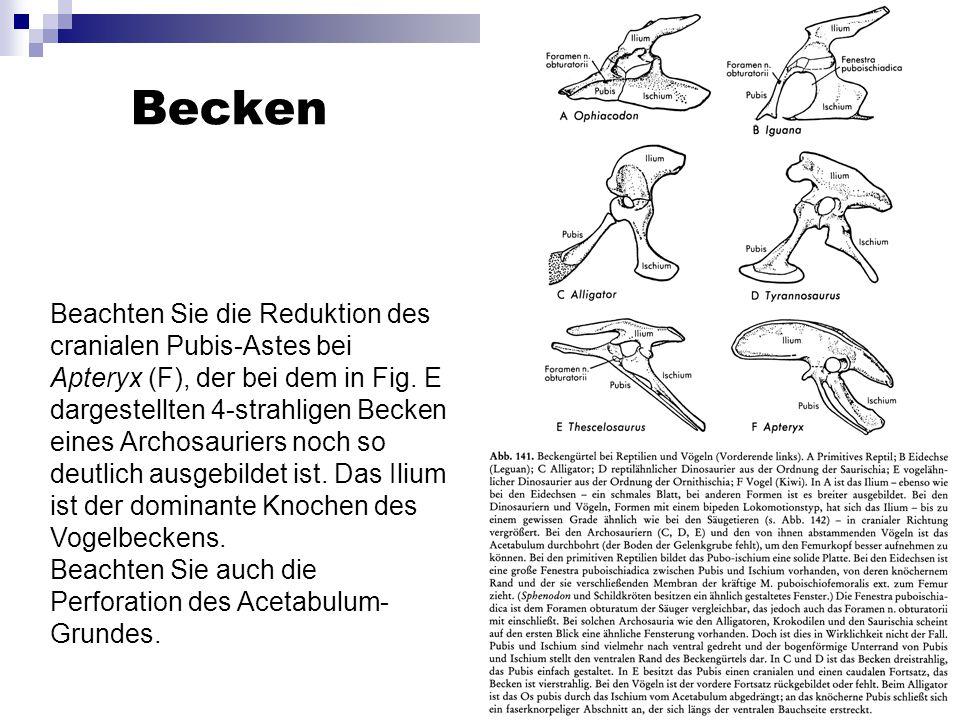Becken Beachten Sie die Reduktion des cranialen Pubis-Astes bei Apteryx (F), der bei dem in Fig. E dargestellten 4-strahligen Becken eines Archosaurie