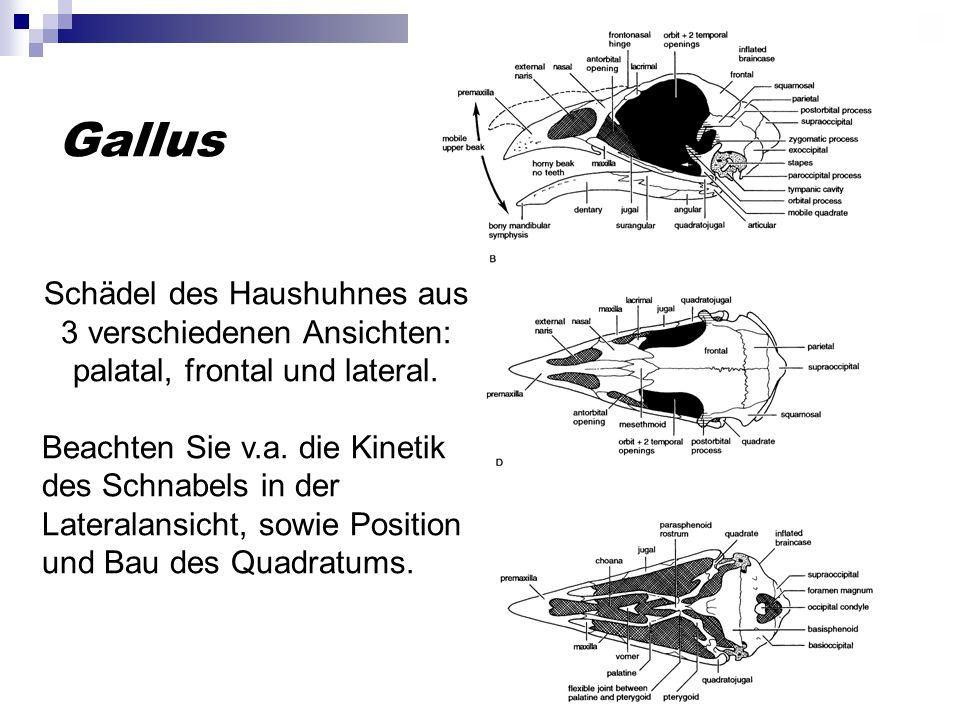 Gallus Schädel des Haushuhnes aus 3 verschiedenen Ansichten: palatal, frontal und lateral. Beachten Sie v.a. die Kinetik des Schnabels in der Laterala