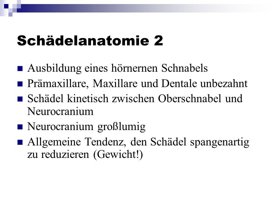 Schädelanatomie 2 Ausbildung eines hörnernen Schnabels Prämaxillare, Maxillare und Dentale unbezahnt Schädel kinetisch zwischen Oberschnabel und Neurocranium Neurocranium großlumig Allgemeine Tendenz, den Schädel spangenartig zu reduzieren (Gewicht!)