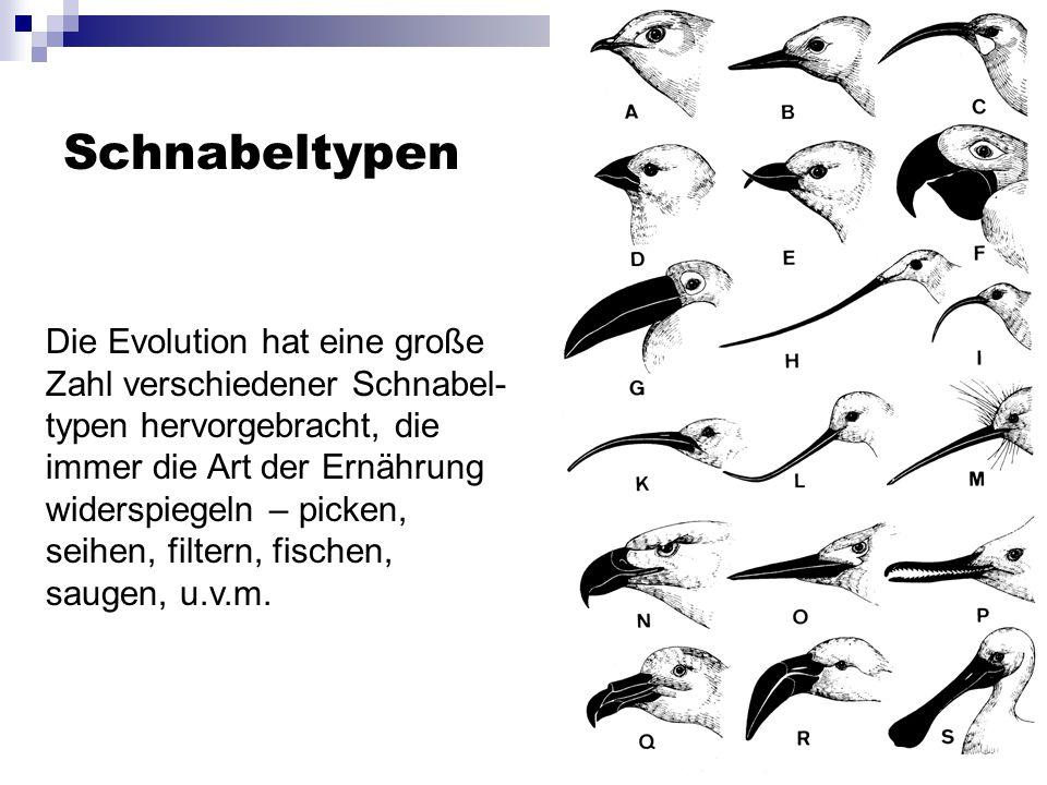 Schnabeltypen Die Evolution hat eine große Zahl verschiedener Schnabel- typen hervorgebracht, die immer die Art der Ernährung widerspiegeln – picken, seihen, filtern, fischen, saugen, u.v.m.