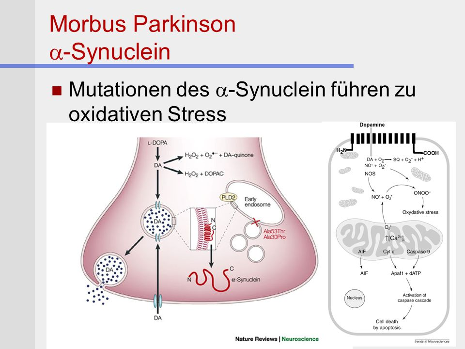Morbus Parkinson  -Synuclein Mutationen des  -Synuclein führen zu oxidativen Stress
