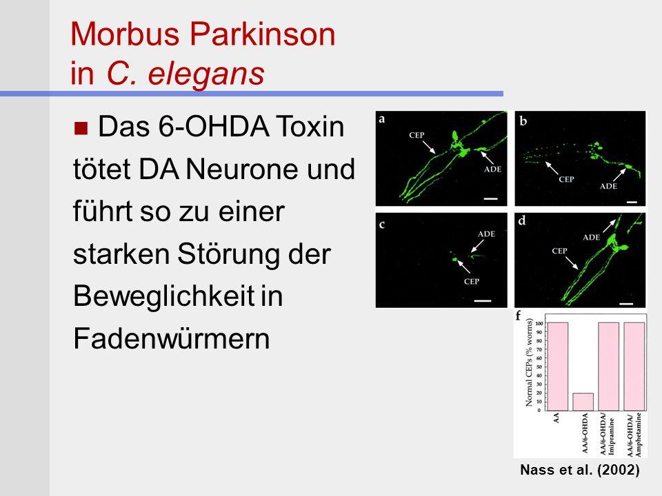 Das 6-OHDA Toxin tötet DA Neurone und führt so zu einer starken Störung der Beweglichkeit in Fadenwürmern Morbus Parkinson in C. elegans Nass et al. (