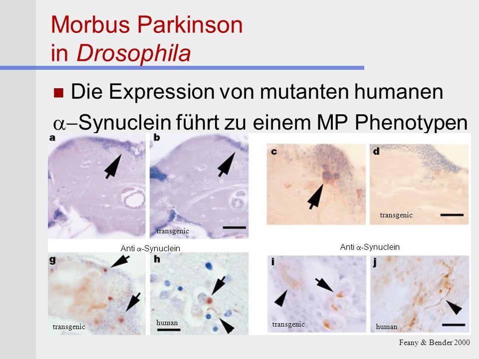 Morbus Parkinson in Drosophila Die Expression von mutanten humanen  Synuclein führt zu einem MP Phenotypen human transgenic Feany & Bender 2000 Anti
