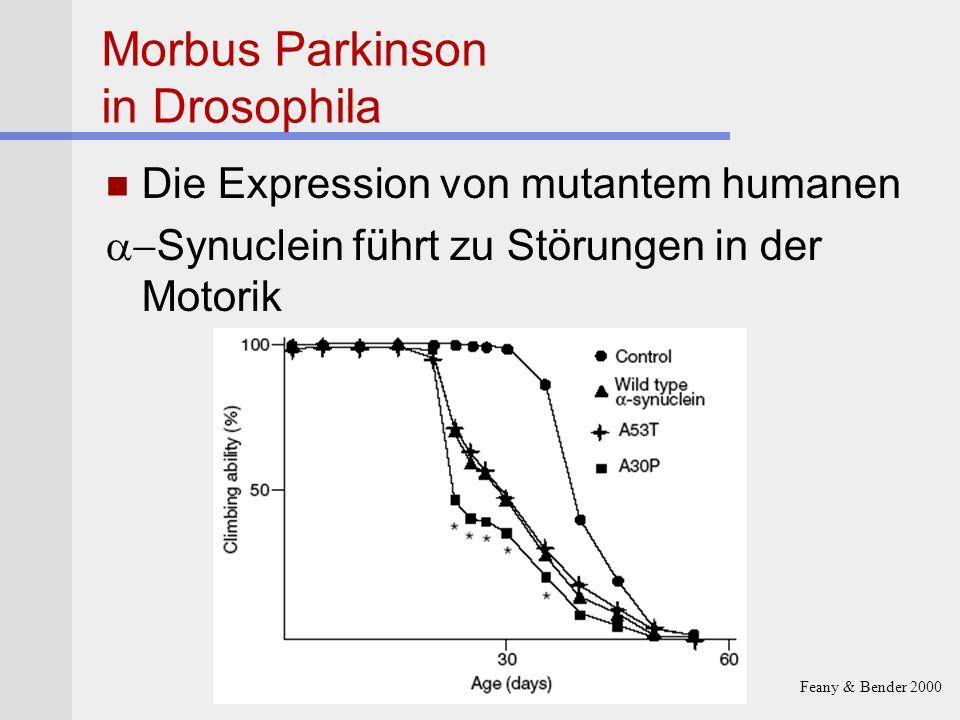 Morbus Parkinson in Drosophila Die Expression von mutantem humanen  Synuclein führt zu Störungen in der Motorik Feany & Bender 2000