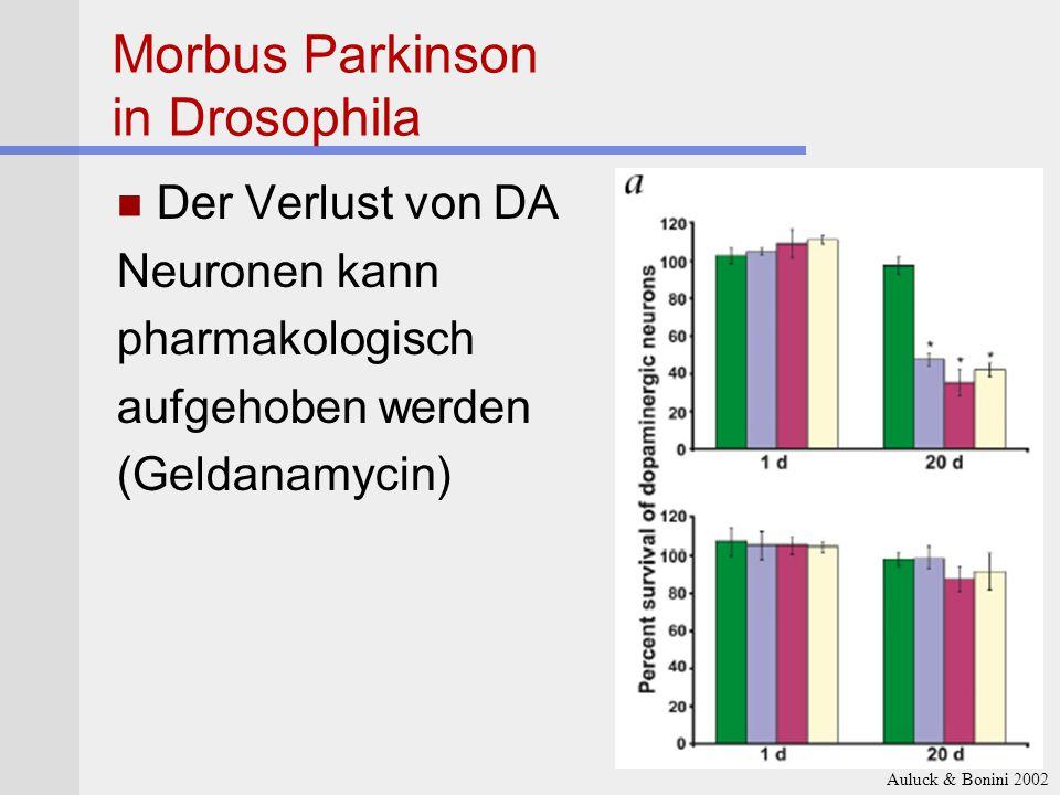 Morbus Parkinson in Drosophila Der Verlust von DA Neuronen kann pharmakologisch aufgehoben werden (Geldanamycin) Auluck & Bonini 2002